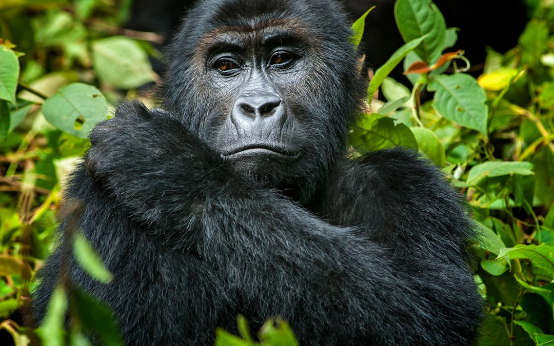 Gorillas and lakes in Uganda