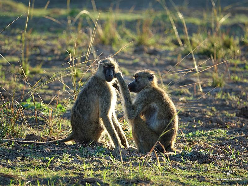 Babouins Botswana