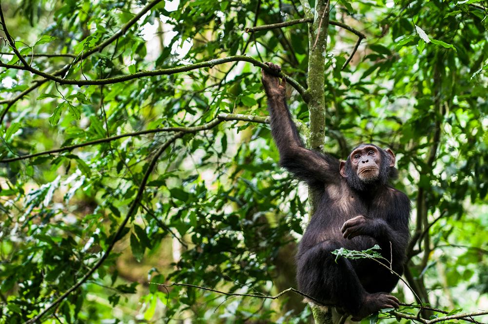 Chimpanzé, Ouganda