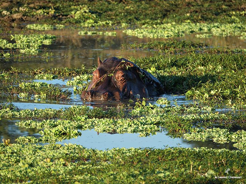 HIPPOPOTAME au Botswana