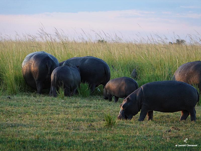 HIPPOPOTAMES Parc Chobe