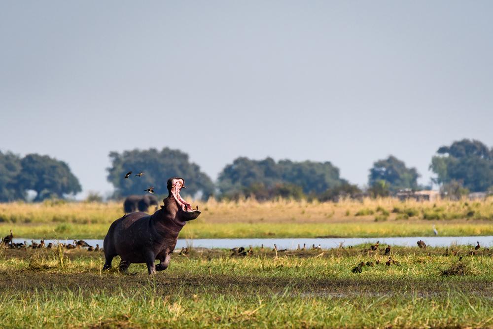 Hippo dans le Parc National de Chobe