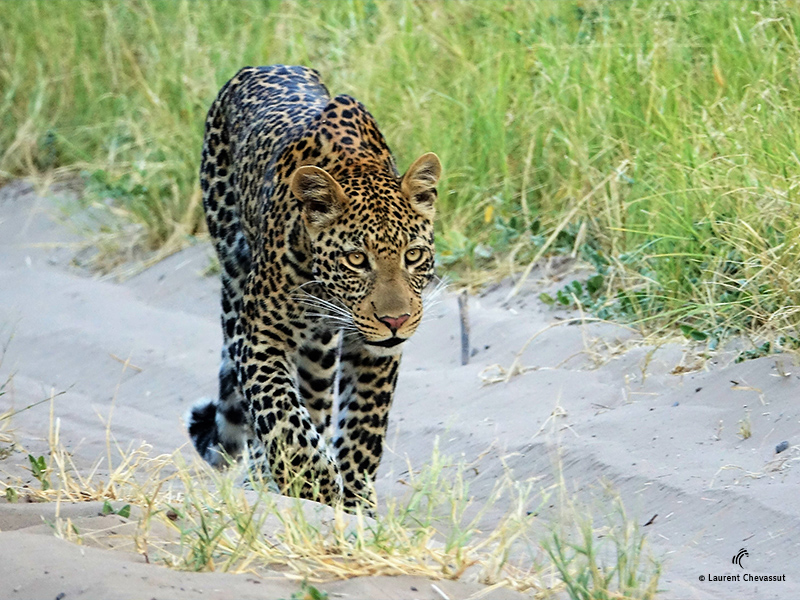 Léopard Botswana