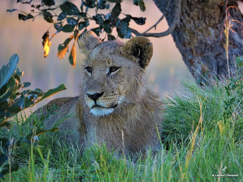 Lion au Botswana