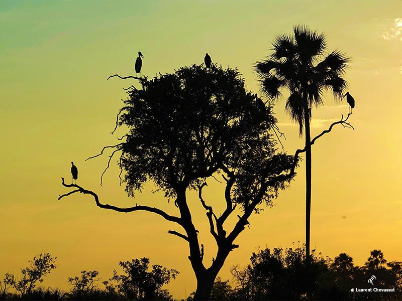Marabou Botswana