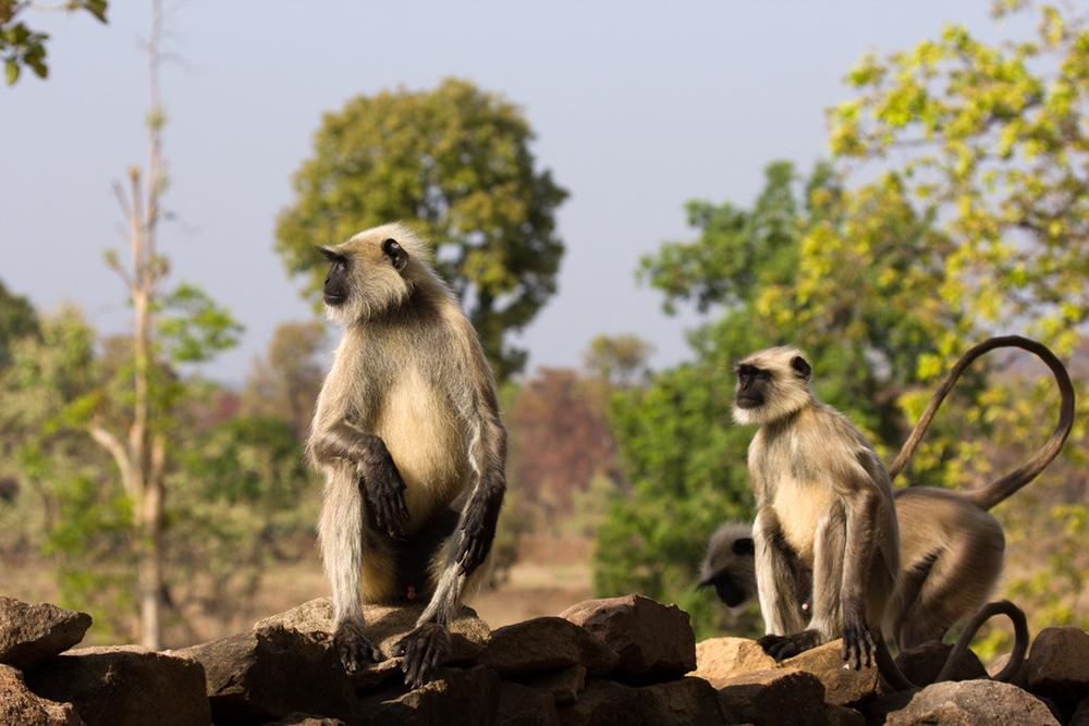 Noir Langurs en face de Bandhavgarh