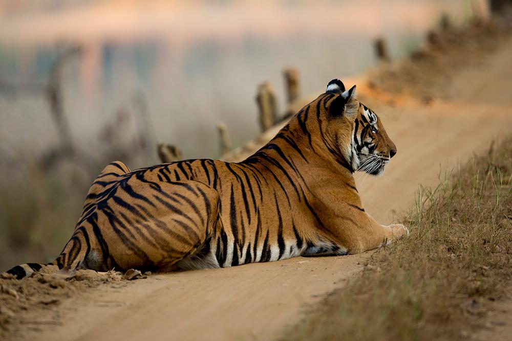 Tigre sur chemin Madhya Pradesh