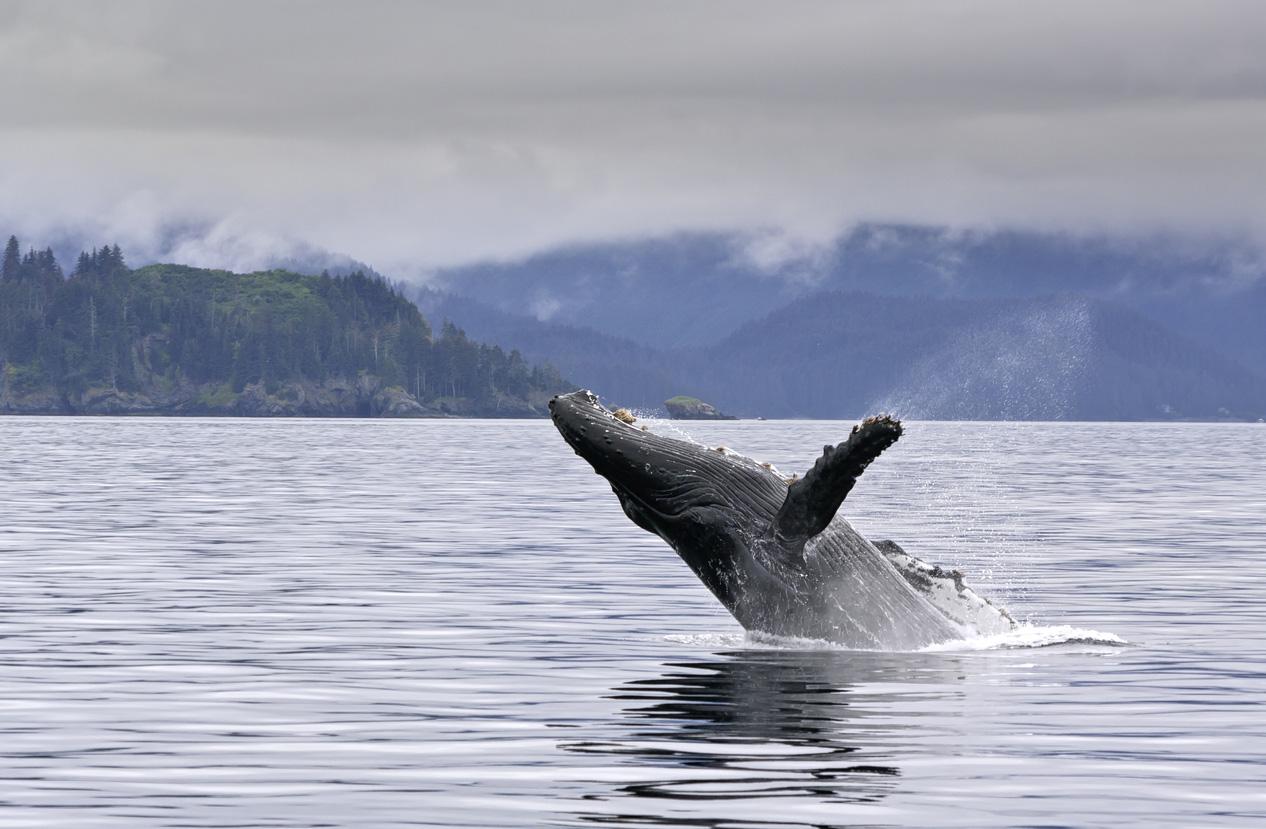 Orque en Alaska