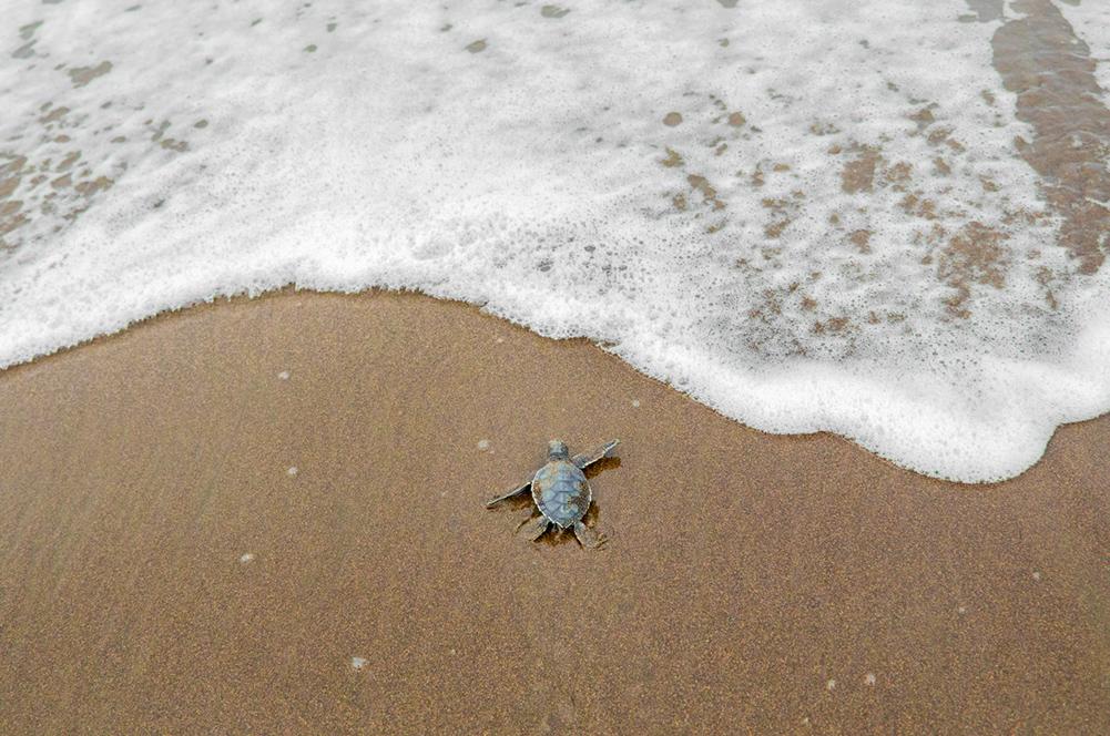 Bébé tortue à Tortuguero