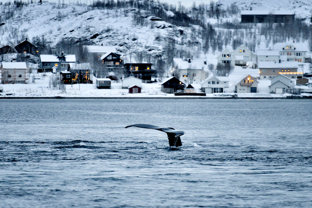 Queue de baleine Tromso