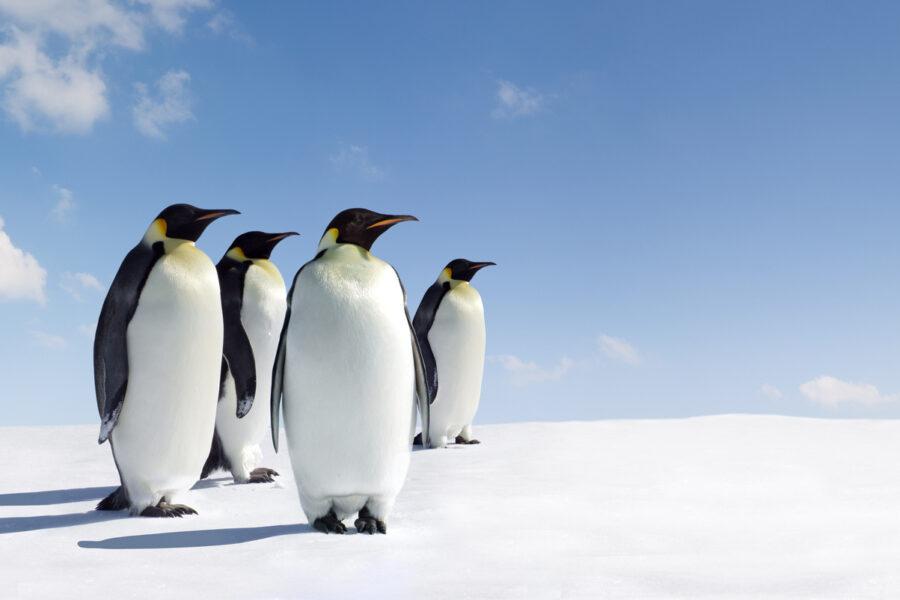 manchots empereurs en antarctique