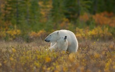 Safari à l'Ours Blanc – Canada