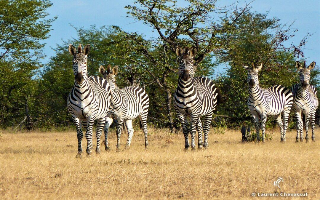 """The """"Pure"""" Safari"""